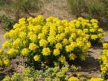 Gold-Wolfsmilch, Euphorbia polychroma, Topfware