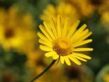 Goldmargerite, Buphthalmum salicifolium, Topfware