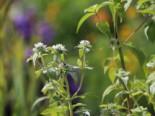 Grannenlose Scheinbergminze, Pycnanthemum muticum, Topfware