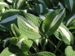 Graublatt-Funkie 'Risky Business', Hosta x fortunei 'Risky Business', Topfware