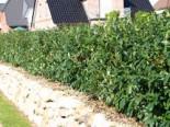 Großblättriger Kirschlorbeer / Lorbeerkirsche 'Schipkaensis Macrophylla', 30-40 cm, Prunus laurocerasus 'Schipkaensis Macrophylla', Containerware