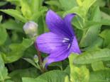 Großblütige Ballonblume 'Mariesii', Platycodon grandiflorus 'Mariesii', Topfware