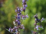 Großblütige Katzenminze 'Zinser's Giant', Nepeta grandiflora 'Zinser's Giant', Topfware