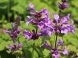 Großblütiger Ziest 'Superba', Stachys grandiflora 'Superba', Topfware