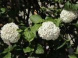 Großblumiger Duft-Schneeball, 40-60 cm, Viburnum carlcephalum, Containerware