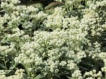 Großes Perlkörbchen 'Neuschnee', Anaphalis margaritacea 'Neuschnee', Topfware