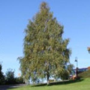 Hängebirke / Sandbirke / Weißbirke, 80-100 cm, Betula pendula, Containerware