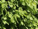Hainbuche 'Lucas', 80-100 cm, Carpinus betulus 'Lucas', Containerware