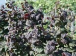 Haselnuss 'Anny's Red Purple Dream', 40-60 cm, Corylus avellana 'Anny's Red Purple Dream', Containerware