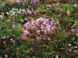 Herbst-Alpenveilchen, Cyclamen hederifolium, Topfware