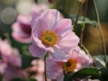Herbst-Anemone 'Serenade', Anemone tomentosa 'Serenade', Containerware