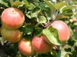 Herbstapfel 'Alkmene', Stamm 40-60 cm, 120-160 cm, Malus 'Alkmene', Wurzelware