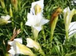 Herbstenzian 'White Mountain', Gentiana sino-ornata 'White Mountain', Topfware