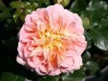 Historische Rose 'Buff Beauty', Rosa 'Buff Beauty', Containerware