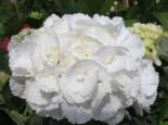 Ballhortensie 'Schneeball' ®, 20-30 cm, Hydrangea macrophylla 'Schneeball' ®, Containerware