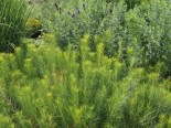 Hubrichts Röhrenstern / Blausternbusch, Amsonia hubrichtii, Topfware