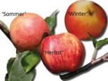 Familienbaum Apfel '3 verschiedene Sorten', Stamm 40-60 cm, 120-160 cm, z. B. Sommer-, Herbst-, Winterapfel, Containerware