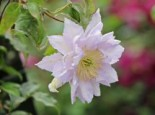 Clematis 'Dancing King', 60-100 cm, Containerware