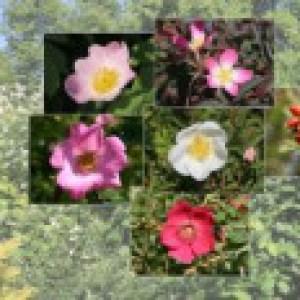 Wildrosen-Hecke aus 10 Pflanzen, 60-100 cm, aus verschiedenen Wildrosen, Containerware