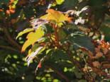 Eichenblättrige Hortensie 'Applause', 30-40 cm, Hydrangea quercifolia 'Applause', Containerware