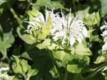 Indianernessel 'Snow Queen', Monarda fistulosa 'Snow Queen', Topfware