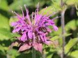 Indianernessel 'Violet Queen', Monarda fistulosa 'Violet Queen', Topfware