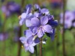 Jakobsleiter 'Purple Rain', Polemonium yezoense 'Purple Rain', Topfware