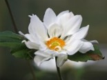 Japan-Herbst-Anemone 'Whirlwind', Anemone japonica 'Whirlwind', Containerware