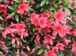 Japanische Azalee 'Alexander', 20-25 cm, Rhododendron obtusum 'Alexander', Containerware