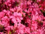 Japanische Azalee 'Babuschka' ®, 20-25 cm, Rhododendron obtusum 'Babuschka' ®, Containerware