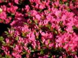 Japanische Azalee 'Diamant Rot' ®, 20-25 cm, Rhododendron obtusum 'Diamant', rot, Containerware