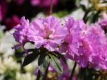 Japanische Azalee 'Elsie Lee', 20-25 cm, Rhododendron obtusum 'Elsie Lee', Containerware