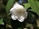 Japanische Kamelie, 50-60 cm, Camellia japonica weiß / schwach rosa, Containerware