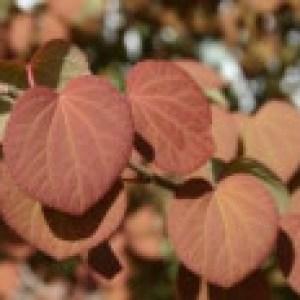 Japanischer Kuchenbaum / Katsurabaum / Lebkuchenbaum, 175-200 cm, Cercidiphyllum japonicum, Containerware