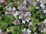Kaukasus Storchschnabel, Geranium renardii, Topfware