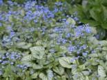 Kaukasus-Vergissmeinnicht 'Jack Frost' ®, Brunnera macrophylla 'Jack Frost' ®, Topfware