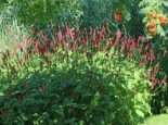 Kerzenknöterich 'Atropurpurea', Bistorta amplexicaulis 'Atropurpurea', Topfware
