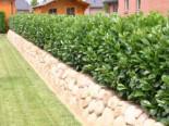 Kirschlorbeer / Lorbeerkirsche 'Etna' ®, 100-125 cm, Prunus laurocerasus 'Etna' ®, Containerware