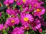 Kissen-Aster 'Starlight', Aster dumosus 'Starlight', Topfware