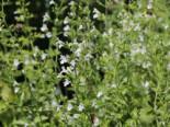 Kleinblütige Bergminze 'Weißer Riese', Calamintha nepeta 'Weißer Riese', Topfware