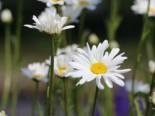 Kleine Margerite, Leucanthemum vulgare, Topfware