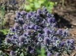 Kleiner Mannstreu 'Blauer Zwerg', Eryngium planum 'Blauer Zwerg', Topfware
