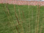 Kleines Pfeifengras, Molinia caerulea, Topfware