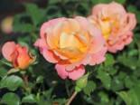 Kleinstrauchrose 'Cubana' ®, Rosa 'Cubana' ®, Containerware