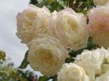 Kletterrose 'Alaska' ®, Rosa 'Alaska' ®, Wurzelware