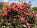 Kletterrose 'Bajazzo' ®, Rosa 'Bajazzo' ® ADR-Rose, Wurzelware