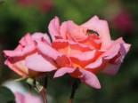 Kletterrose 'Compassion' ®, Rosa 'Compassion' ®, Containerware