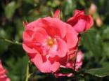 Kletterrose 'Lawinia' ®, Rosa 'Lawinia' ®, Wurzelware