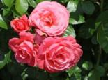 Kletterrose 'Rosanna' ®, Rosa 'Rosanna' ®, Containerware