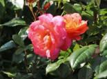 Kletterrose 'Shogun' ®, Rosa 'Shogun' ®, Wurzelware